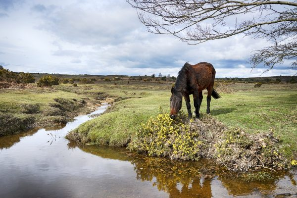 A pony grazing on gorse at Dockens Water in the New Forest National Park in Hampshire